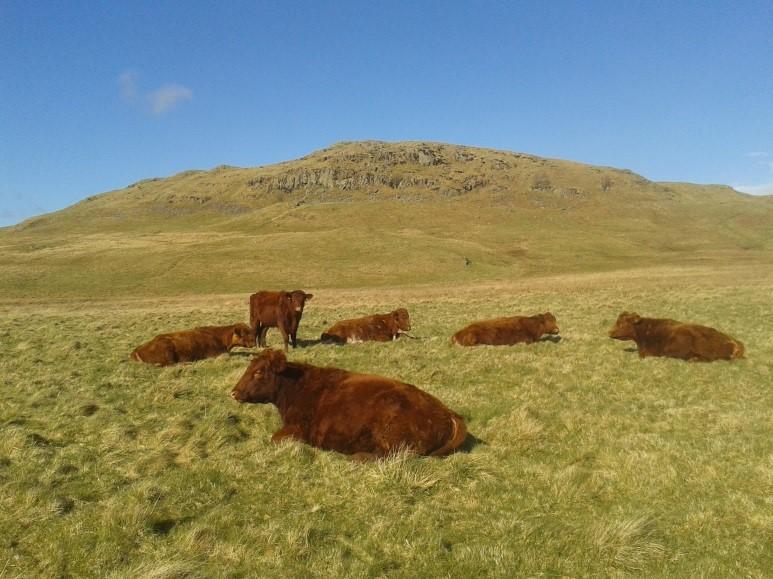 Eyecott Cattle