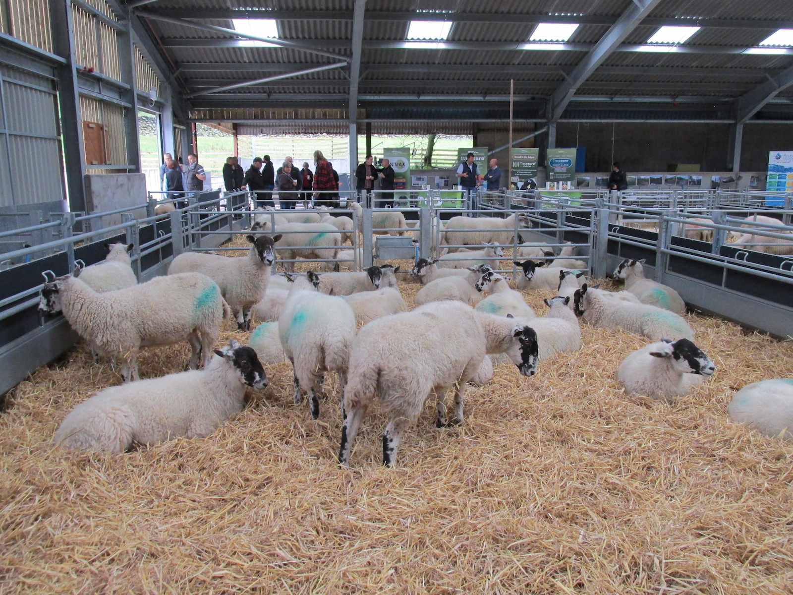 Sheep at auction